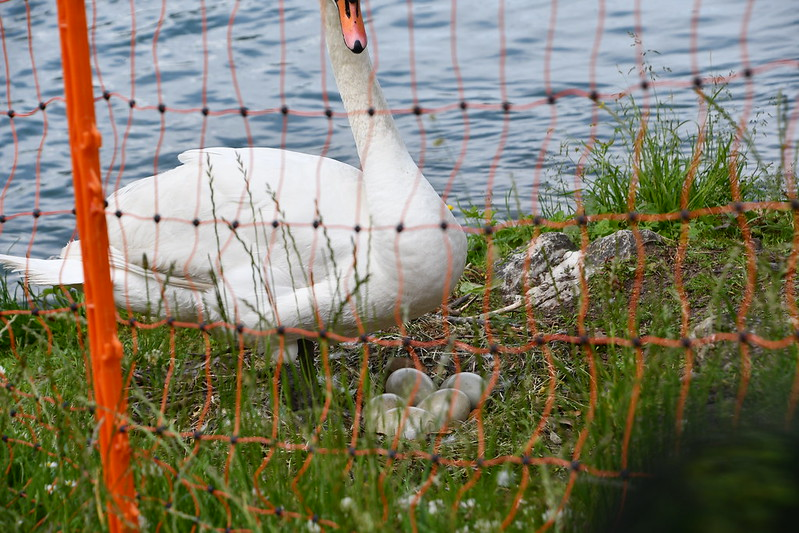 Brooding swan with eggs 15.06 (2)