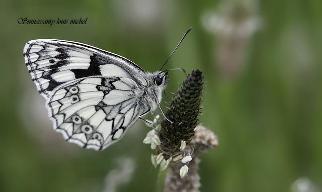 Marbled white / Demi-deuil