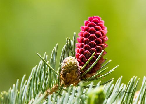 Spruce Female Flower