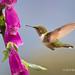 Female Volcano Hummingbird Approaches Foxglove Blossoms Seeking Nectar