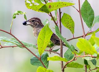Bachman's Sparrow of the Longleaf Pine