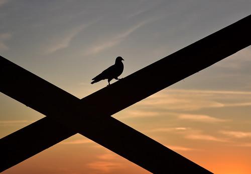 Pigeon at Sunrise