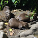"<p><a href=""https://www.flickr.com/people/94209416@N06/"">Seventh Heaven Photography</a> posted a photo:</p>  <p><a href=""https://www.flickr.com/photos/94209416@N06/48069092357/"" title=""Asian Small-clawed Otter (Aonyx cinereus)""><img src=""https://live.staticflickr.com/65535/48069092357_3e2ef1e8cc_m.jpg"" width=""240"" height=""160"" alt=""Asian Small-clawed Otter (Aonyx cinereus)"" /></a></p>"