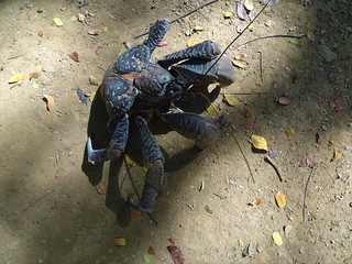 Nadi. In the Fijian Cultural Centre village they keep a small coconut crab in a wire crab. A large one would demolished the wire. Coconut crabs climb palms and smash open the green coconuts..