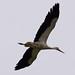 White Stork_0162-1