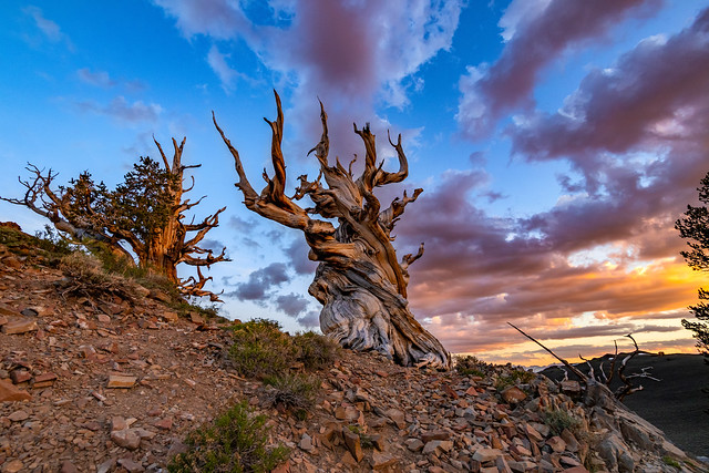 June Sunset at Bristlecone Pine Forest