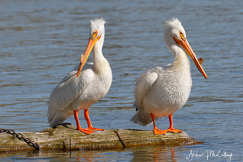 White Pelicans | by Let there be light (A.J. McCullough)