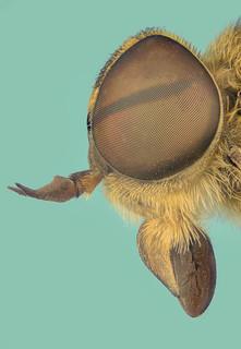 daas Tabanidae