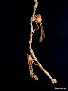 Hoverflies, Salpingogaster sp.? Syrphidae