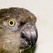 Jacky AKA Black Beak (Senegal Parrot)