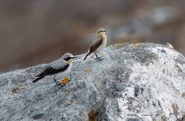 Northern Wheatear / Traquet motteux