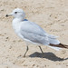 Ring-billed Gull - 2nd Year - June