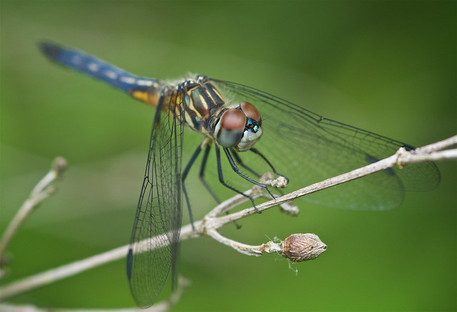 Blue Dasher (Pachydiplax longipennis) Dragonfly - Male