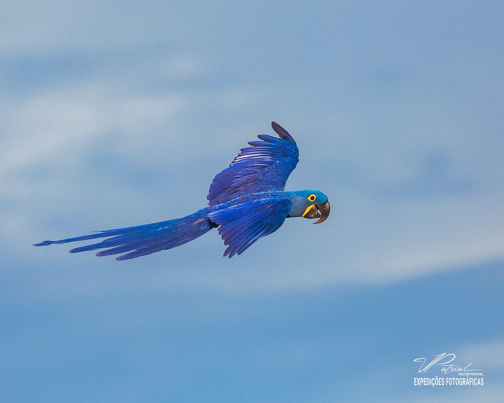 Arara-azul-grande (Anodorhynchus hyacinthinus)