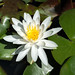 Bruce Batten posted a photo:	Water Lily, Nymphaea sp., スイレン