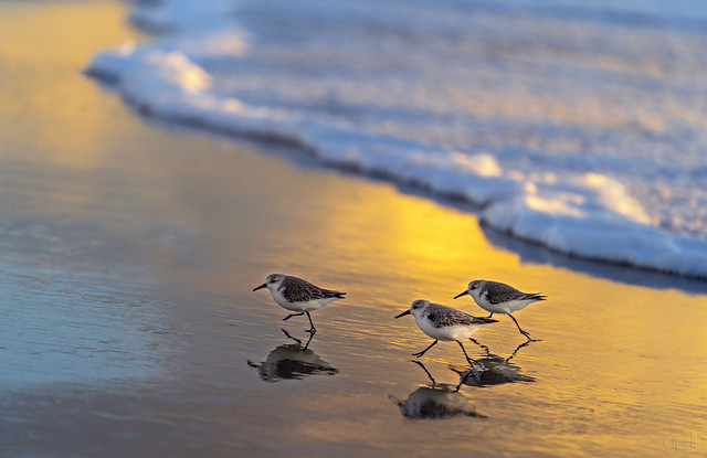 Sanderlings and Surf