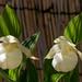 150528 Hokkaido U. Botanic Garden-03.jpg
