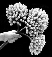 Agave Bloom Stalk