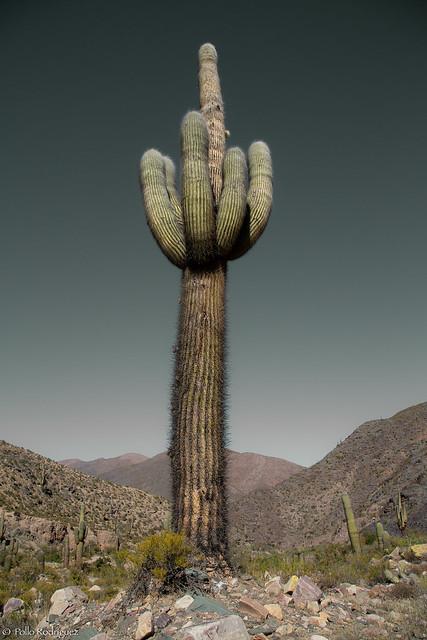 Cactus Centenario