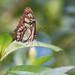 Vlinder in Mangrove Burgers' Zoo