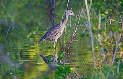 Black-crowned night heron (Nycticorax nycticorax) - Playa Pesquero, Holguin, Holguín Province, Cuba - Feb 2019