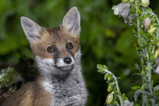 Fox and the Foxgloves