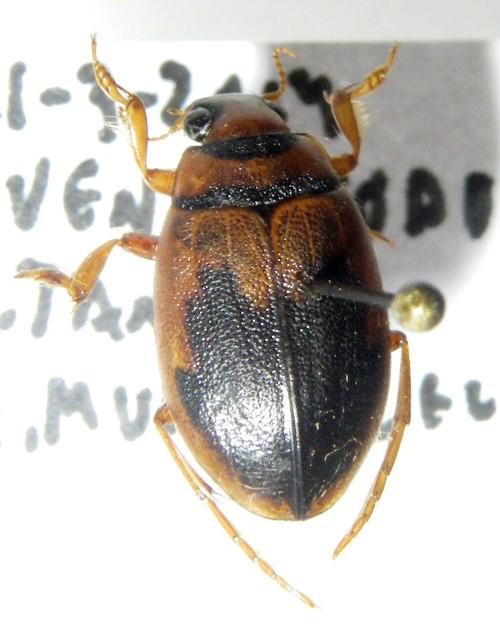 Hygrobia hermanni 48071210151_f5077e7758_o