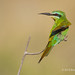 Blue-cheeked Bee-eater Perched On A Thin Leafless Twig