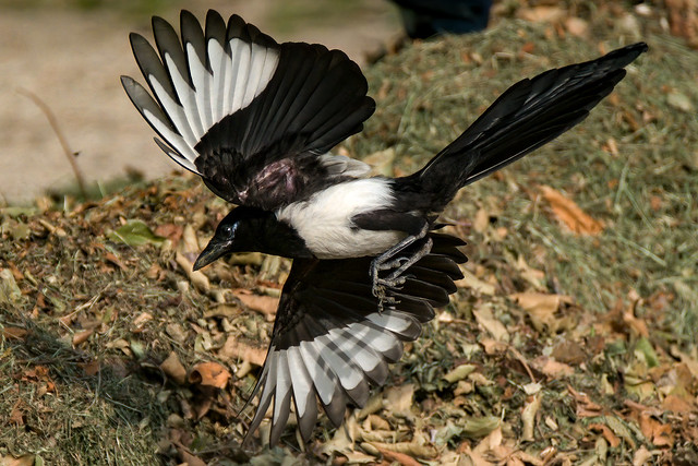 a Flying magpie : landing