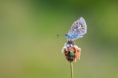 Common Blue #2