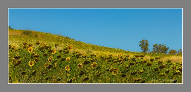 Campo de girasoles // Field of sunflowers