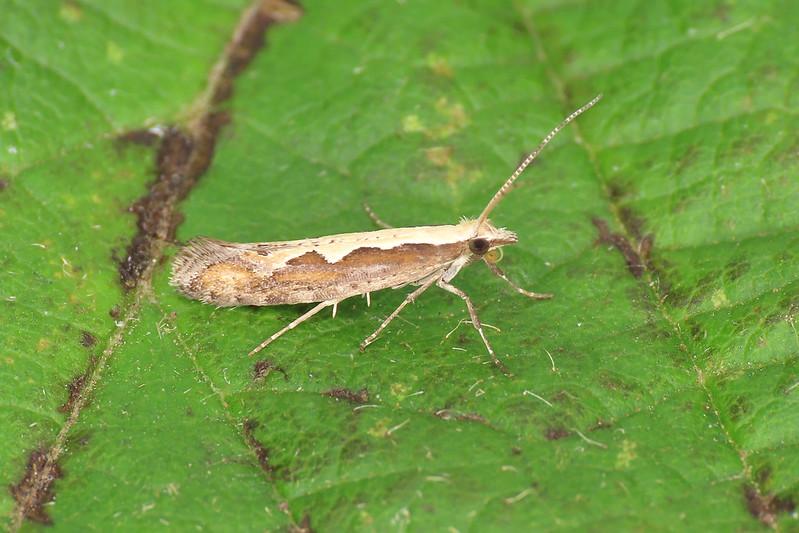 18.001 Diamond-back Moth - Plutella xylostella