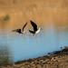 Black-winged stilt  150619-5989