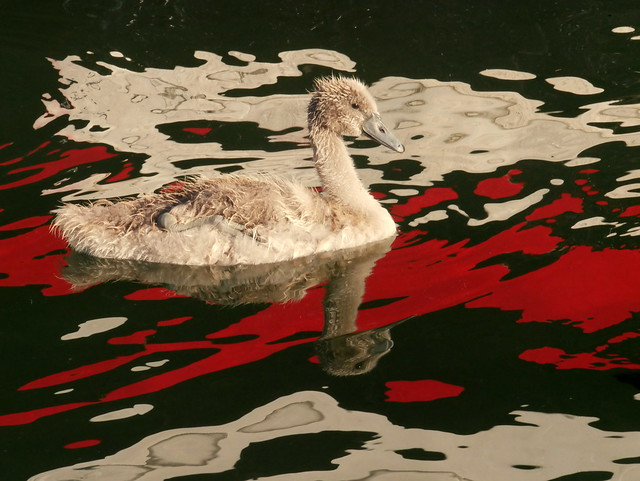 Young swan bad trip