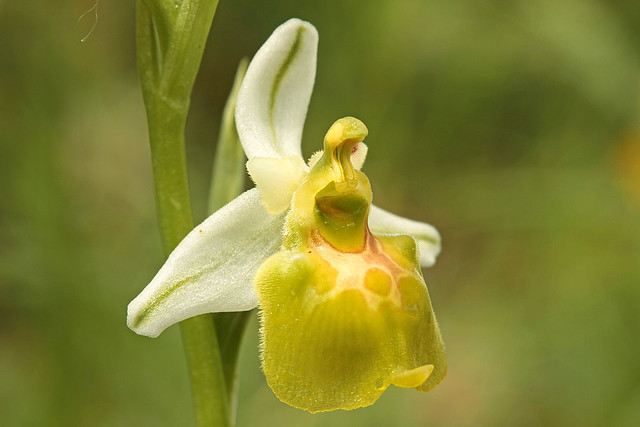 Ophrys holosericea subsp. apulica apocromatica