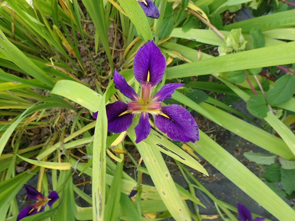Iris probably x fulvala