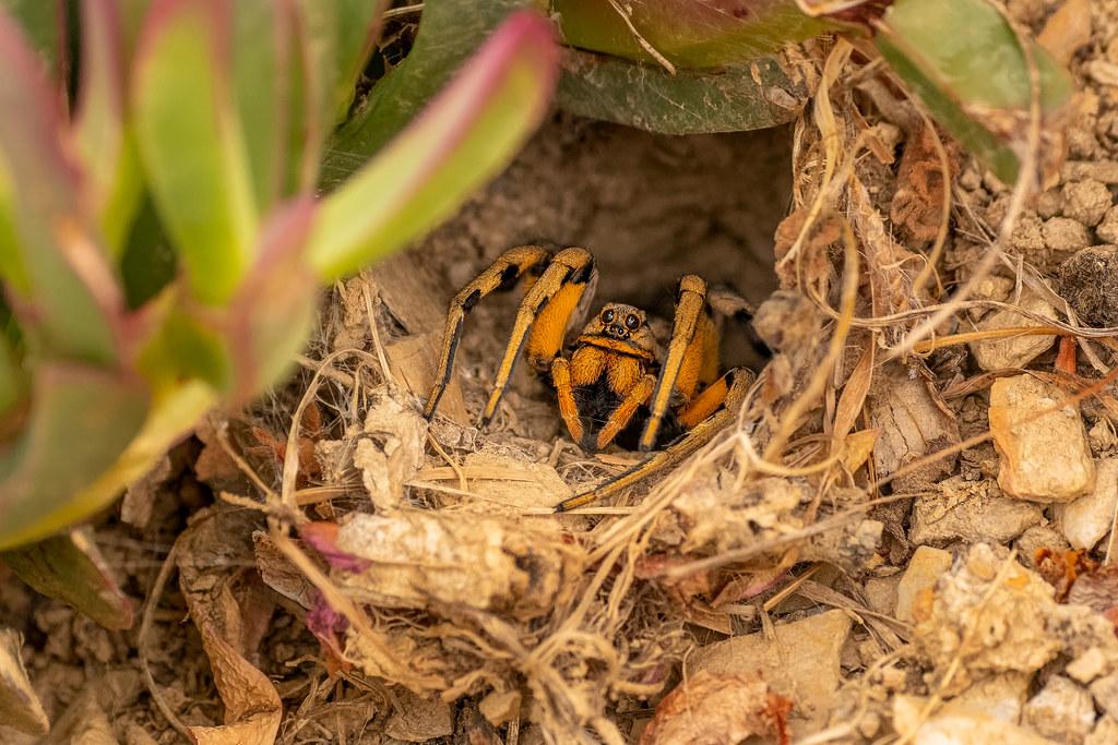 Tarantula Wolf Spider - Lycosa tarantula