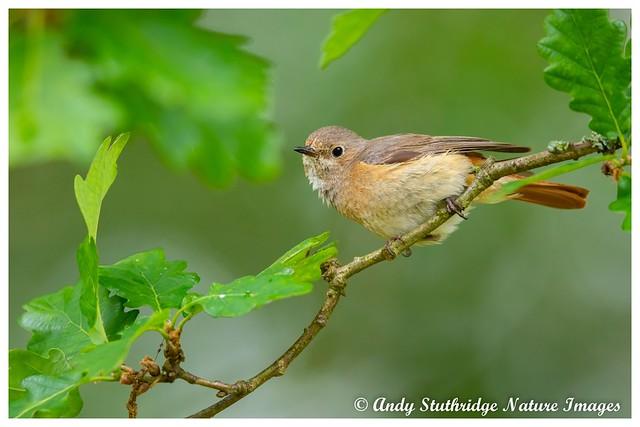 Female Redstart in Oak Tree