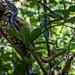 Piton endémique du nord de madagascar, sur l'île de Nosy Be