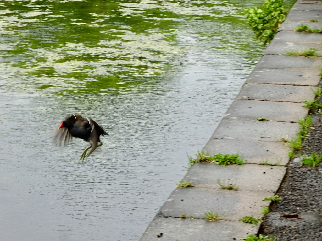 Moorhen, Monmouthshire-Brecon Canal, Five Locks, Pontnewydd, Cwmbran 16 June 2019