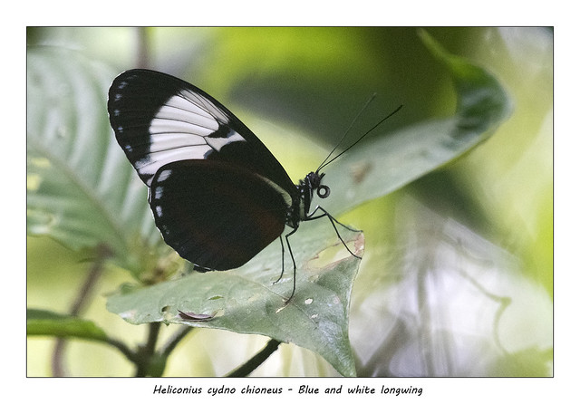 Blue and white longwing