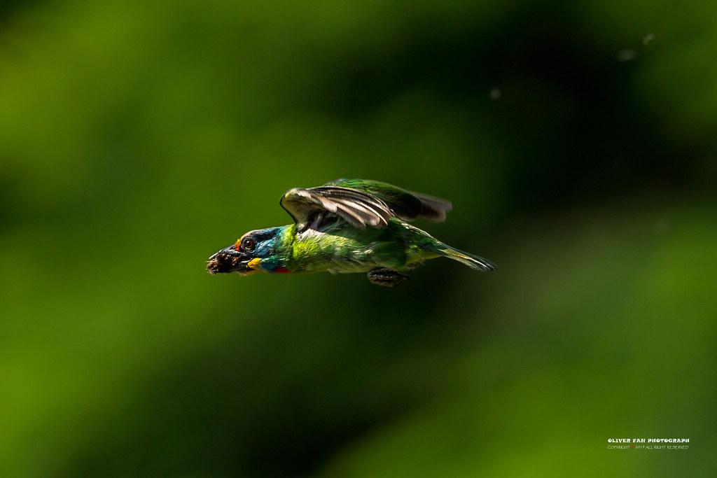 五色鳥(台灣擬啄木)  Psilopogon nuchalis
