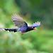 台灣藍鵲 Formosan Blue Magpie