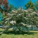 Dogwood 06152019