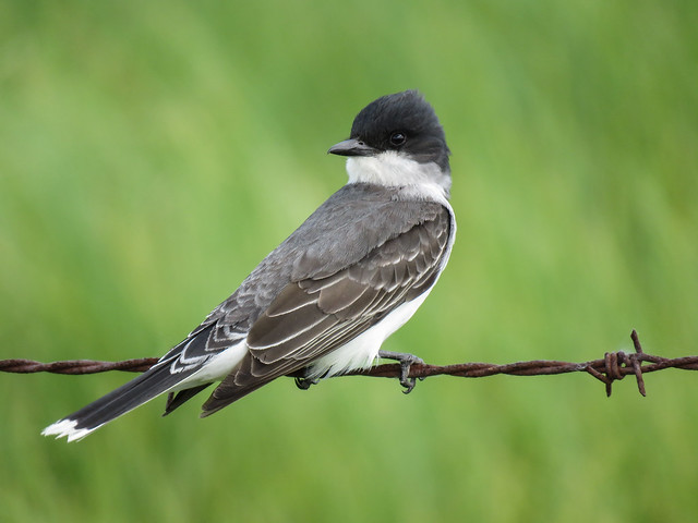 05 Eastern Kingbird