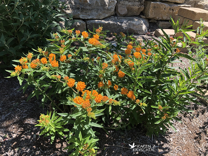 IMG_9026ButterflyWeed