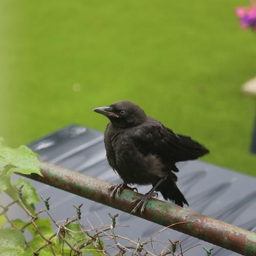 Crow Babe
