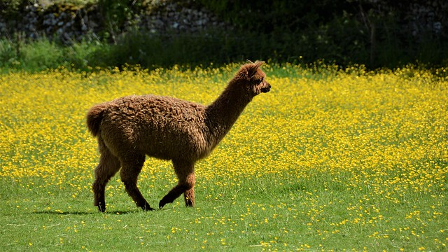 To be an Alpaca