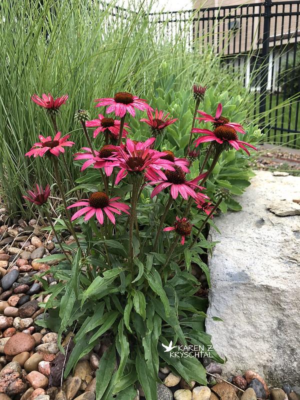 IMG_9105GlowingDreamConeflowers