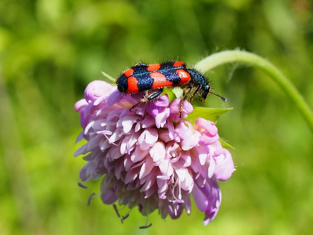 mezei varfű és szalagos méhészbogár / Field Scabious and Checkered Bee Beetle